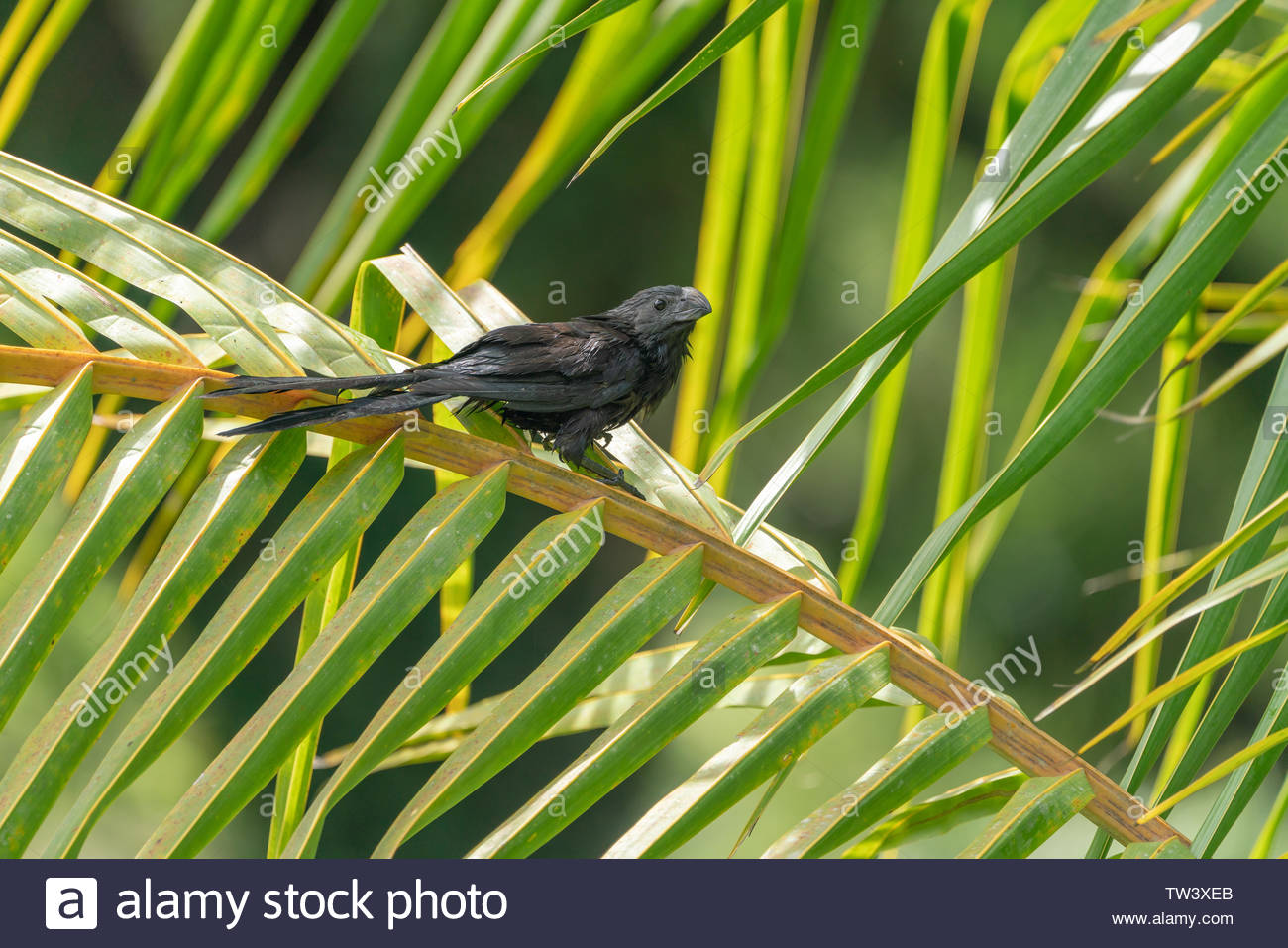 Smooth-billed Ani (Crotophaga ani) perched, taken in  Costa Rica - Stock Image