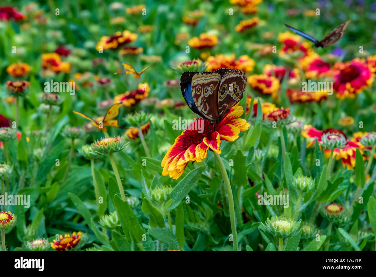 Butterflies On Colorful Red And Yellow Flowers In A Lush Green