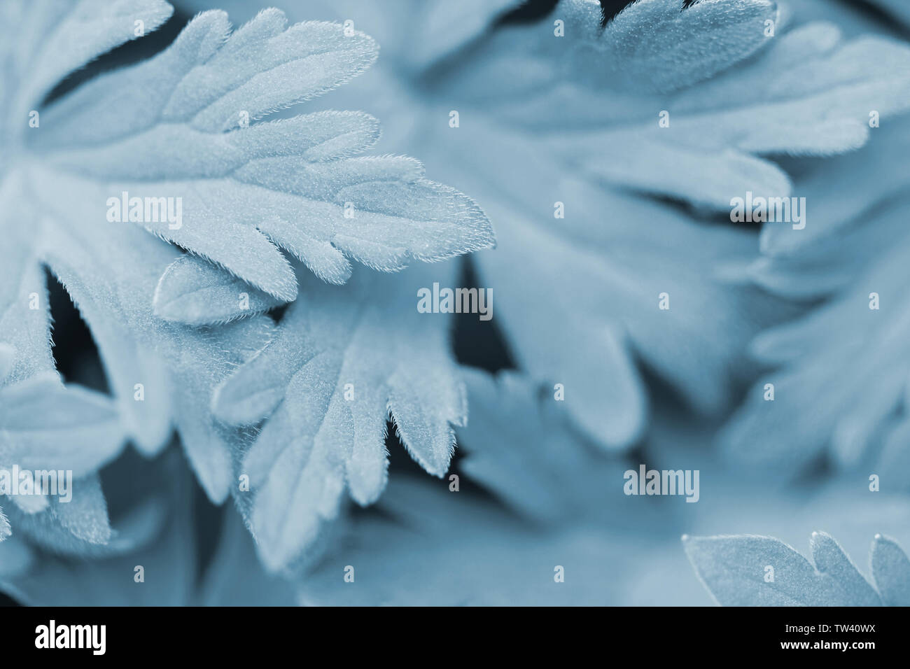 Turquoise and furry garden plants in close up - Stock Image