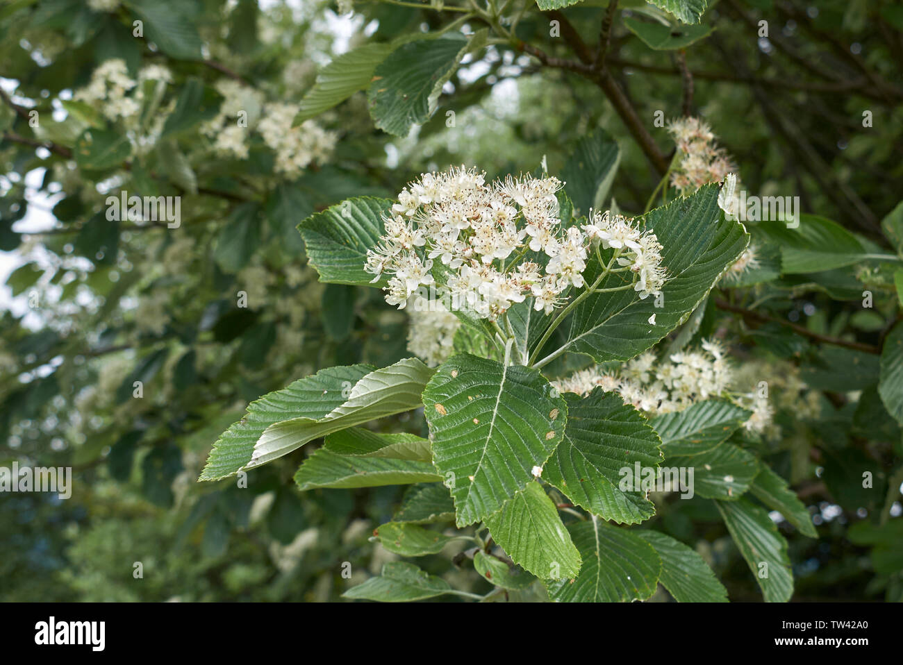 Sorbus aria branch with flowers - Stock Image
