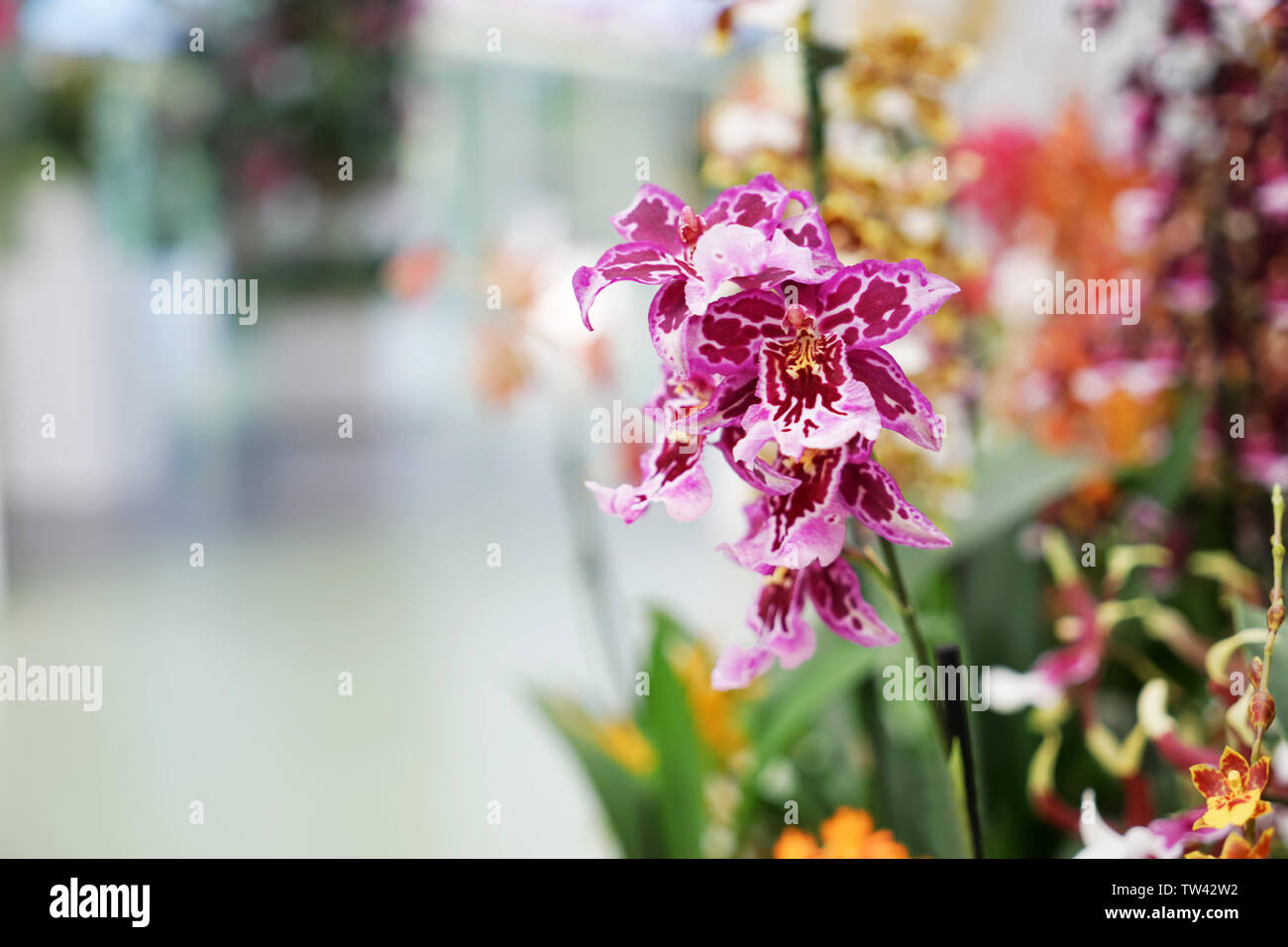 Beautiful blooming orchid on blurred background - Stock Image