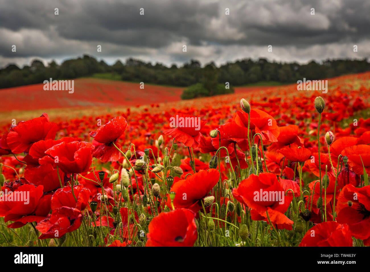 UK poppy field with storm clouds above. - Stock Image