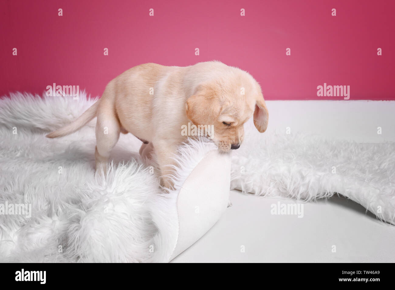Cute Labrador Retriever Puppy Playing With Fluffy Plaid At Home Stock Photo Alamy