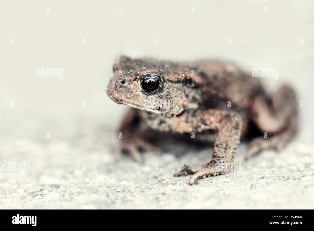 Common toad sitting on the stony ground - Stock Image