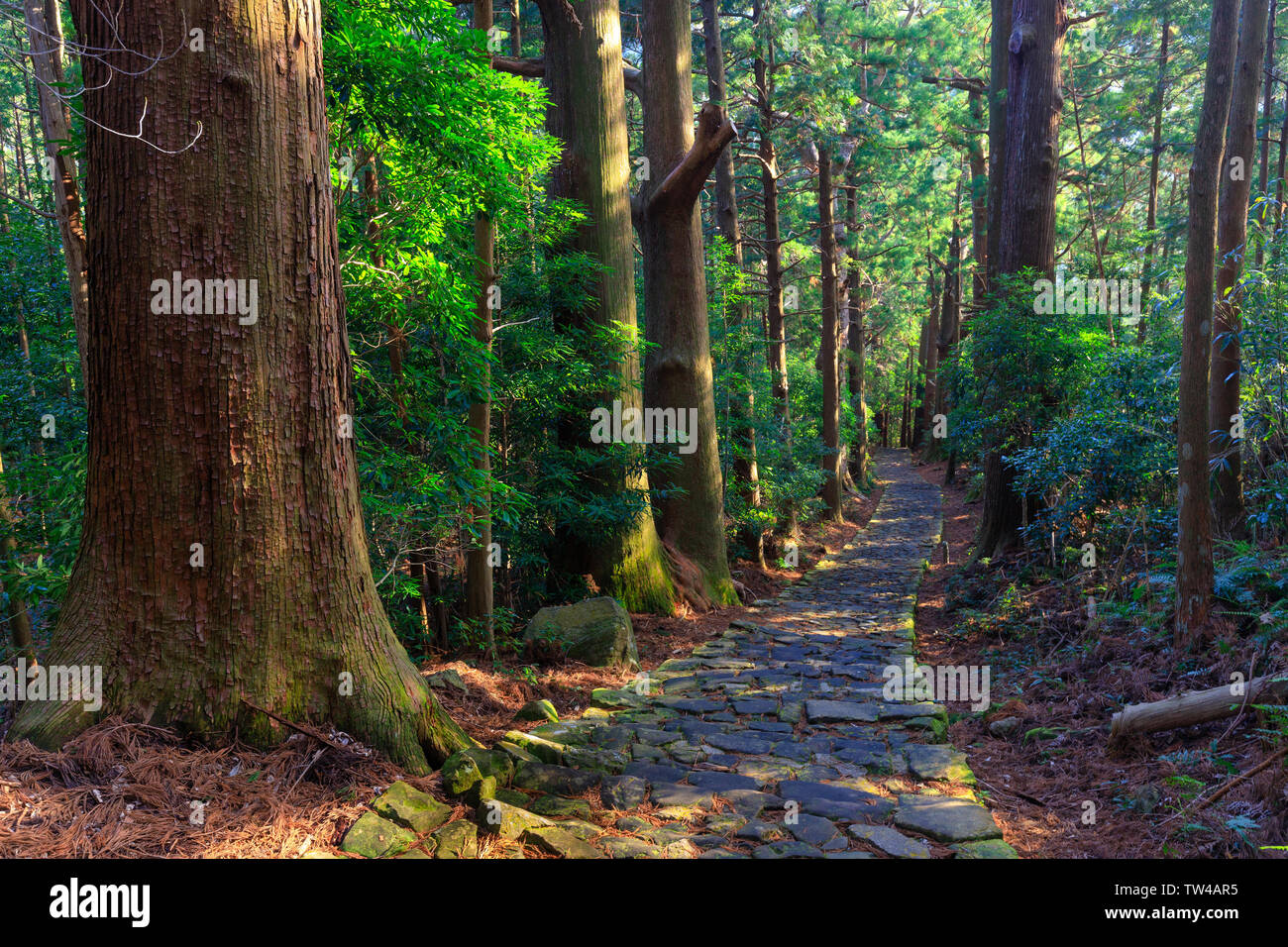 Famous Daimonzaka trail inside giant cypress forest, leading to Nachi falls, Japan - Stock Image