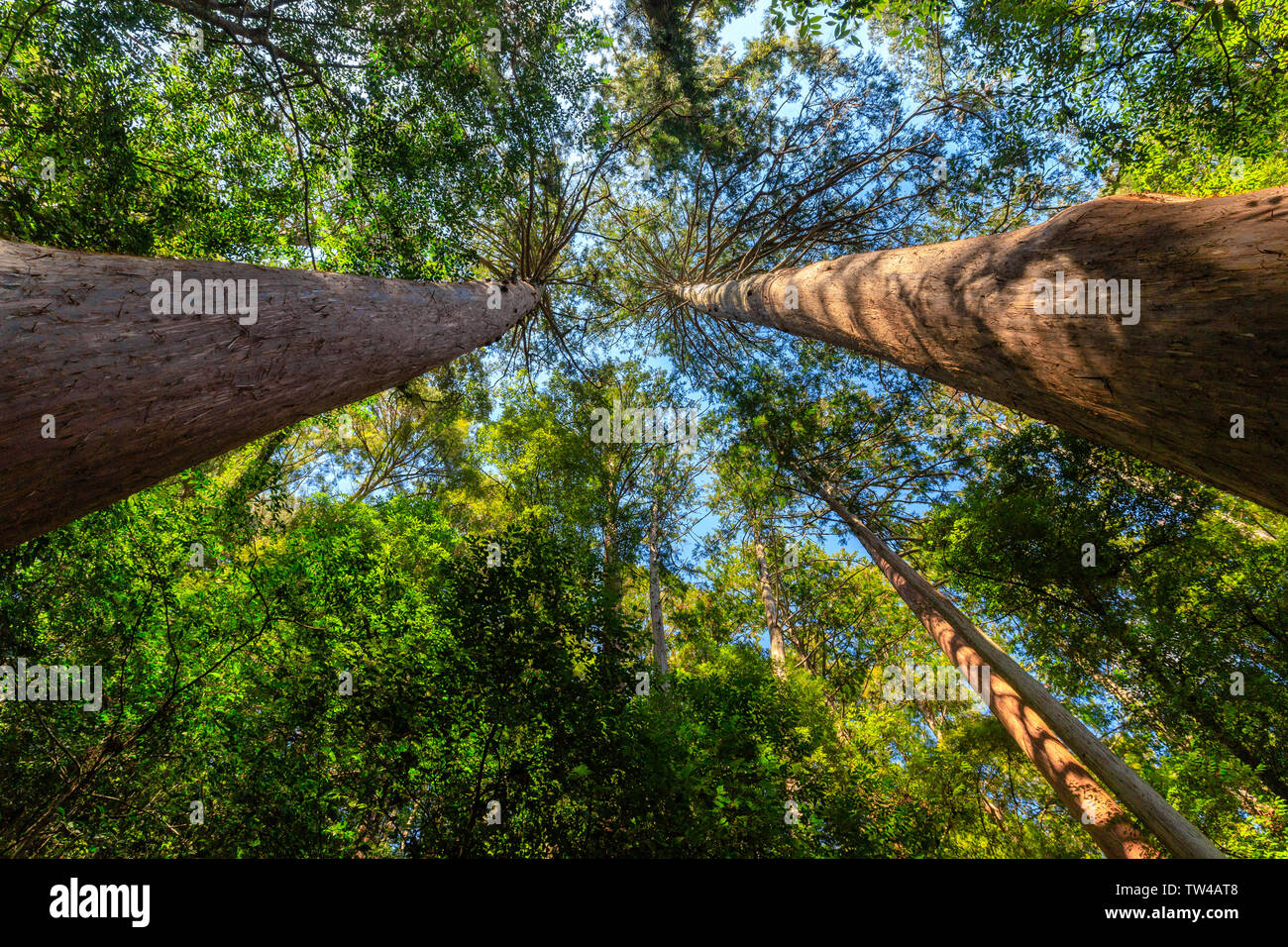 Japanese wild mountain forest of the Kumano Kodo trail,view from below. Stock Photo