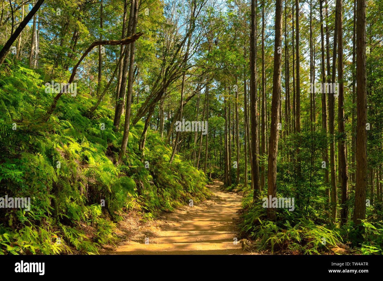 Wild cryptomeria forest of the Kumano Kodo pilgrimage trail, Japan Stock Photo