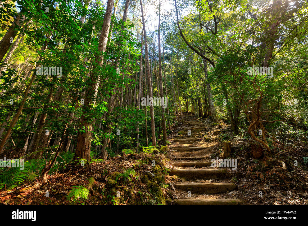 Wild cryptomeria forest of the Kumano Kodo pilgrimage trail, Japan - Stock Image