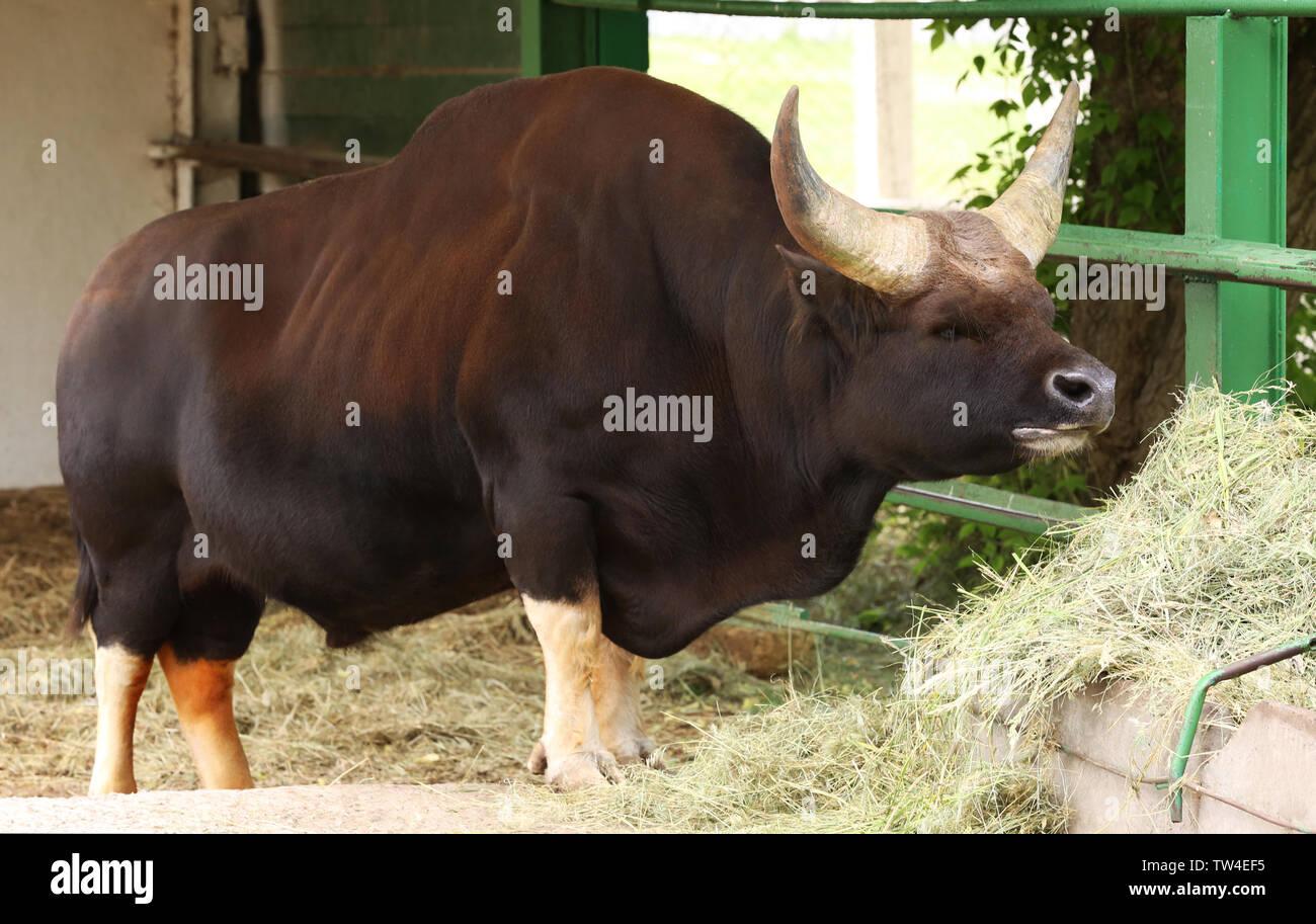 Big Asian Buffalo Eating Hay In Zoological Garden Stock Photo Alamy
