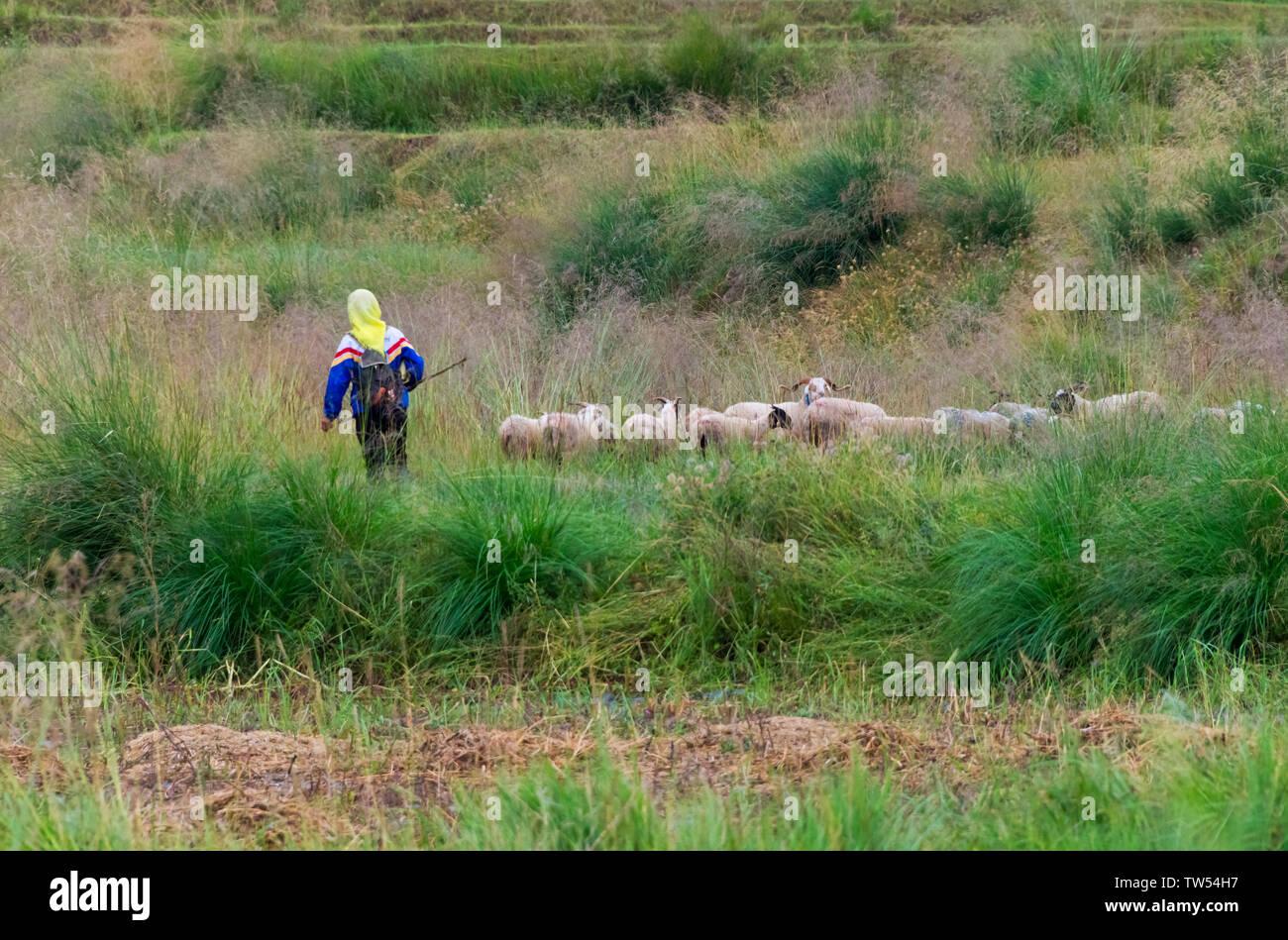 Herding sheep, Zhangye, Gansu Province, China - Stock Image
