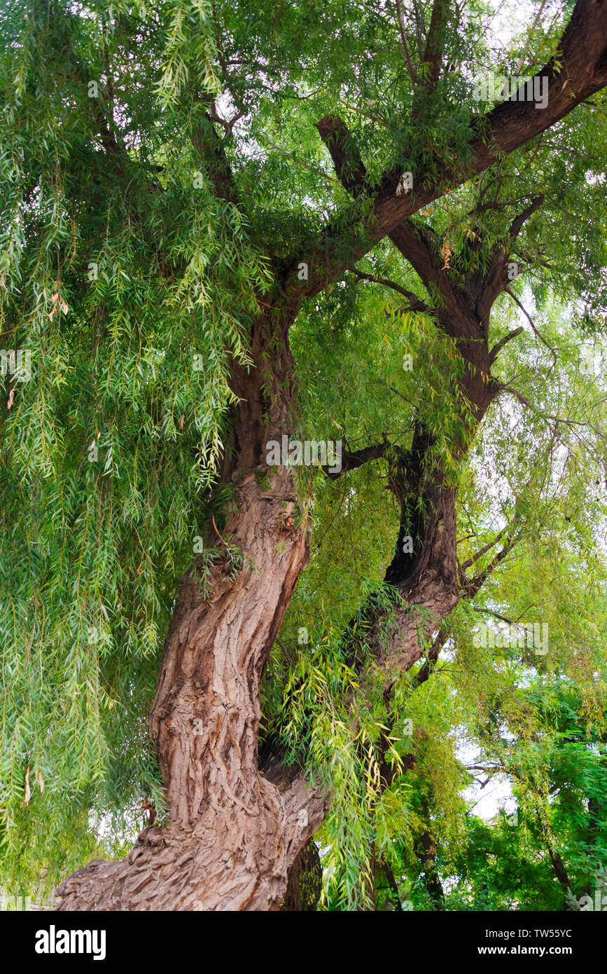 Willow tree, Zhangye, Gansu Province, China - Stock Image