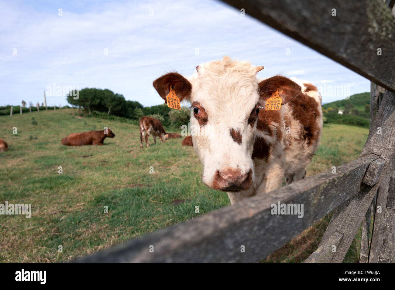 A cow looking through a wooden enclosure in Nornandy, France - green pasture in the background and a beautiful blue sky - Stock Image