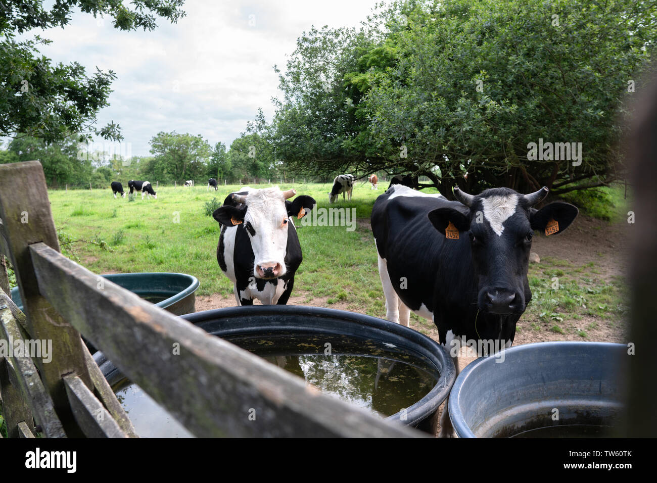 Cows looking through a wooden enclosure in Nornandy, France - green pasture in the background and a beautiful blue sky - Stock Image