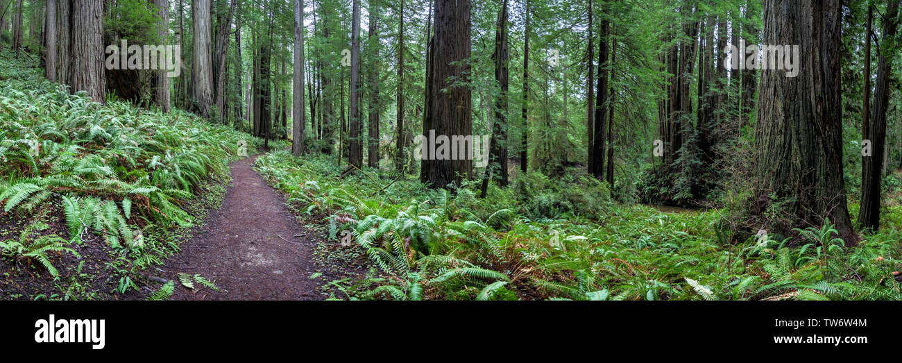 Trail Through the Redwoods Panorama in Northern California - Stock Image