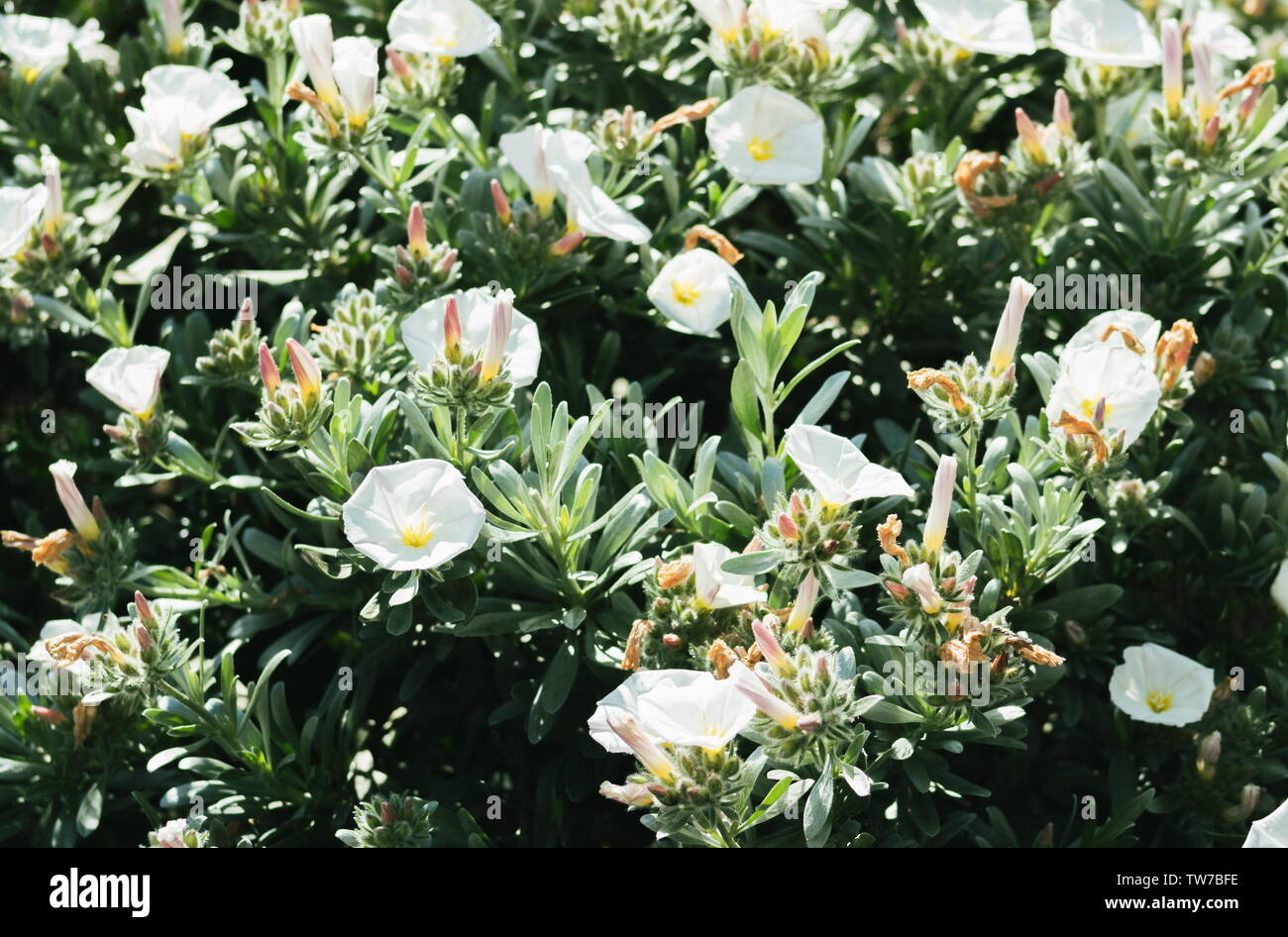 Convolvulus cneorum, also known as silverbush or shrubby bindweed, is a species of flowering plant in the family Convolvulaceae, which contains many p - Stock Image