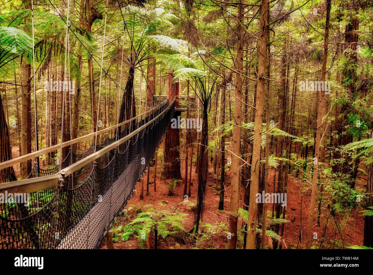 The amazing Redwoods tree walk wandering through the forest above ground - Stock Image
