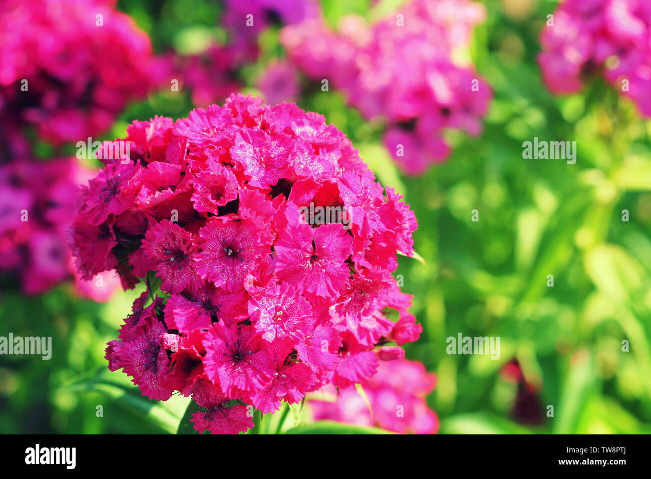 Sweet red william flowers or Dianthus barbatus in the summer garden . - Stock Image