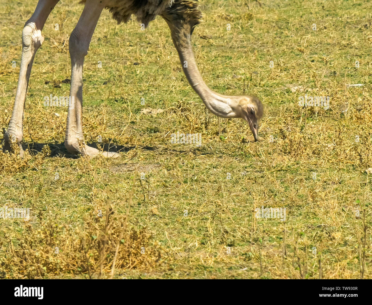 close up of a female ostrich feeding at amboseli - Stock Image