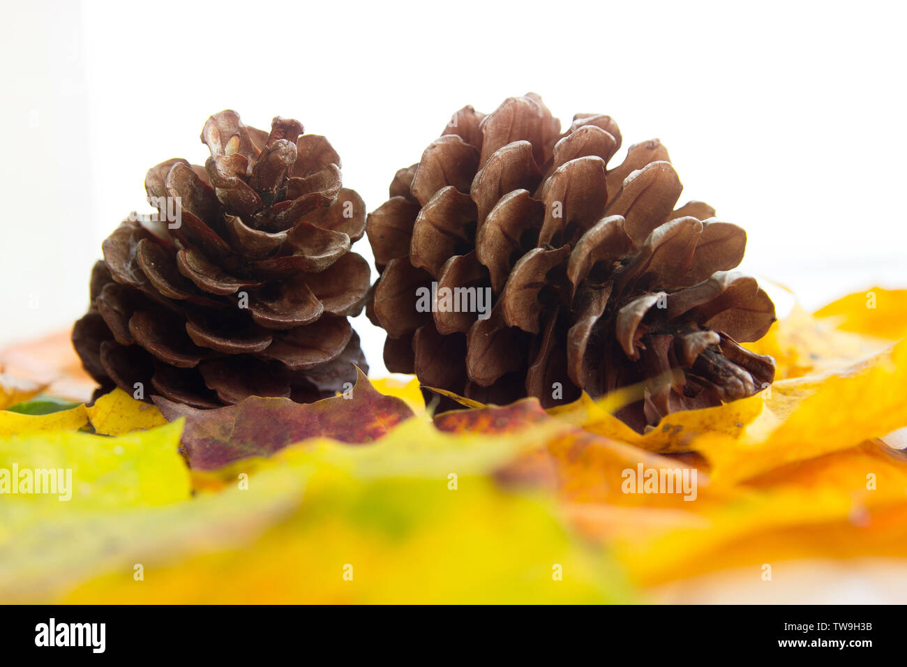 two bumps on autumn leaves, space for text - Stock Image