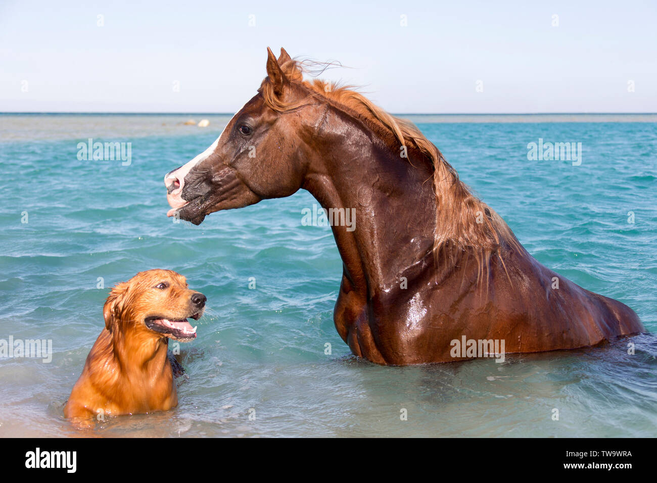 Arabian Horse Chestnut Stallion And Its Friend A Golden Retriever Sitting In The Sea Egypt Stock Photo Alamy