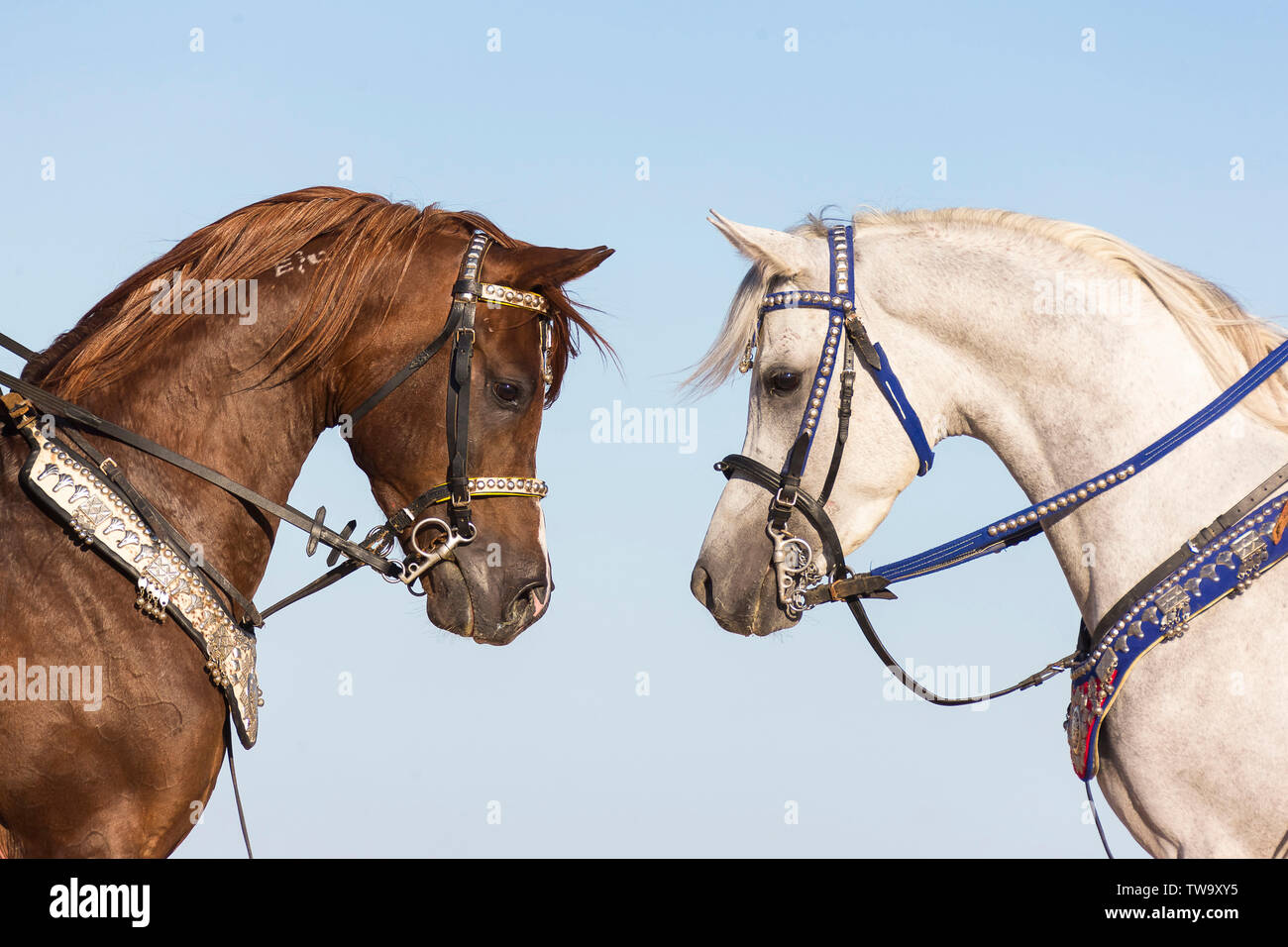 Arabian Horse Two Stallions With Bridle Nose To Nose Egypt Zaumzeug Bridle Tack Zaumzeug Bridle Tack Stock Photo Alamy