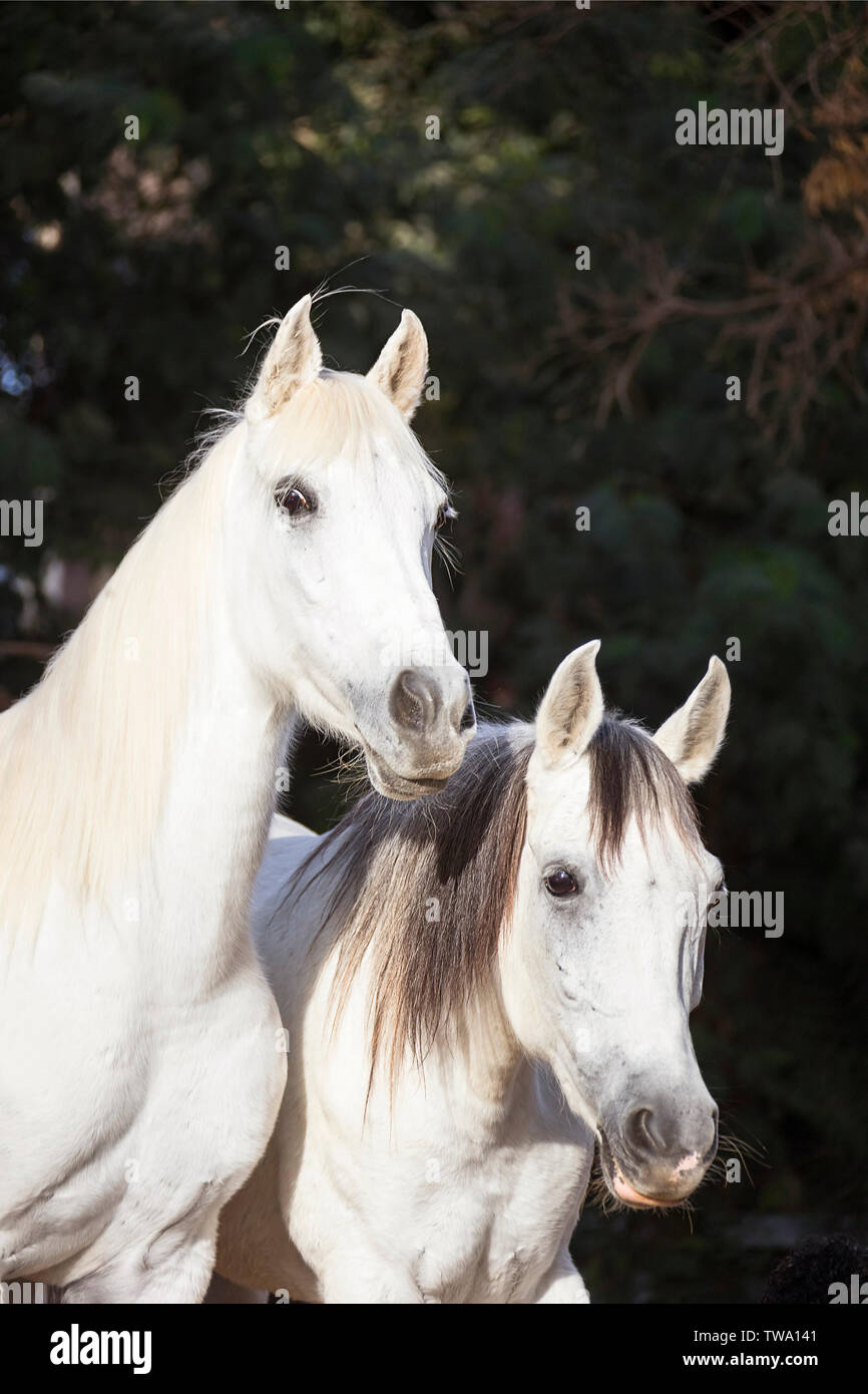 Arabian Horse Portrait Of Two Grey Mares Seen Against A Dark Background Egypt Stock Photo Alamy