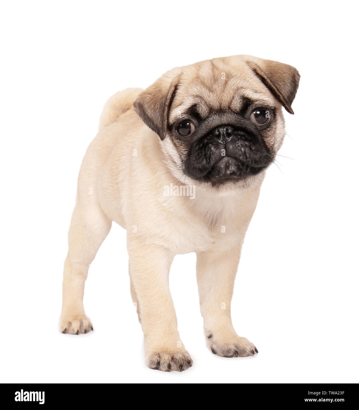 Cute Pug Puppy On White Background Stock Photo Alamy
