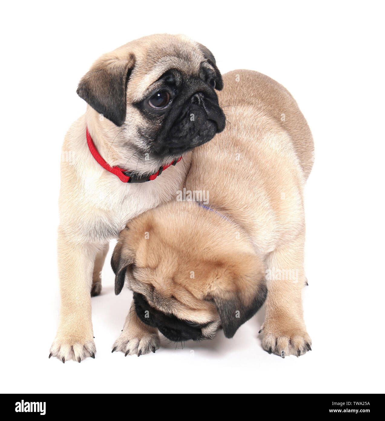 Cute Pug Puppies On White Background Stock Photo Alamy