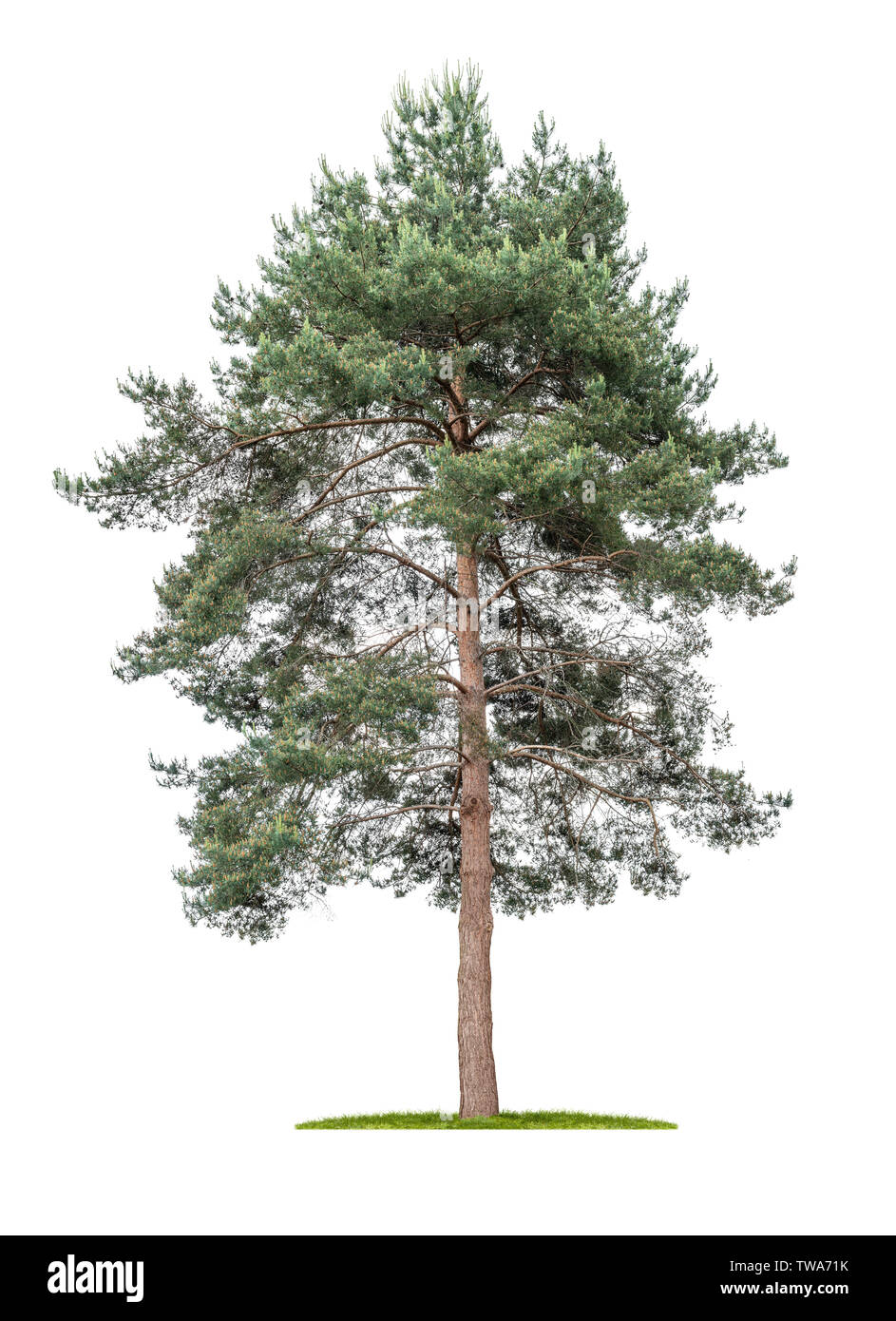 Isolated  tree on a white background - Pine - Pinus - Stock Image