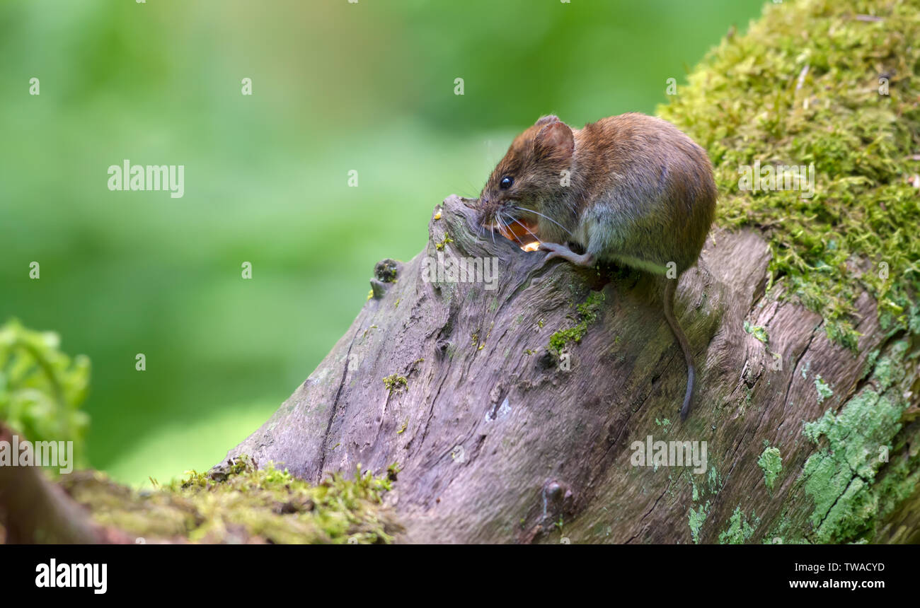 Bank vole feeds itself near a hollow of big trunk in forest - Stock Image