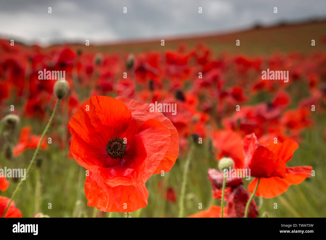 Detailed close up of a natural, wild, red poppy flower (Papaver rhoeas) fully open in foreground; UK poppy field landscape behind, without people. - Stock Image