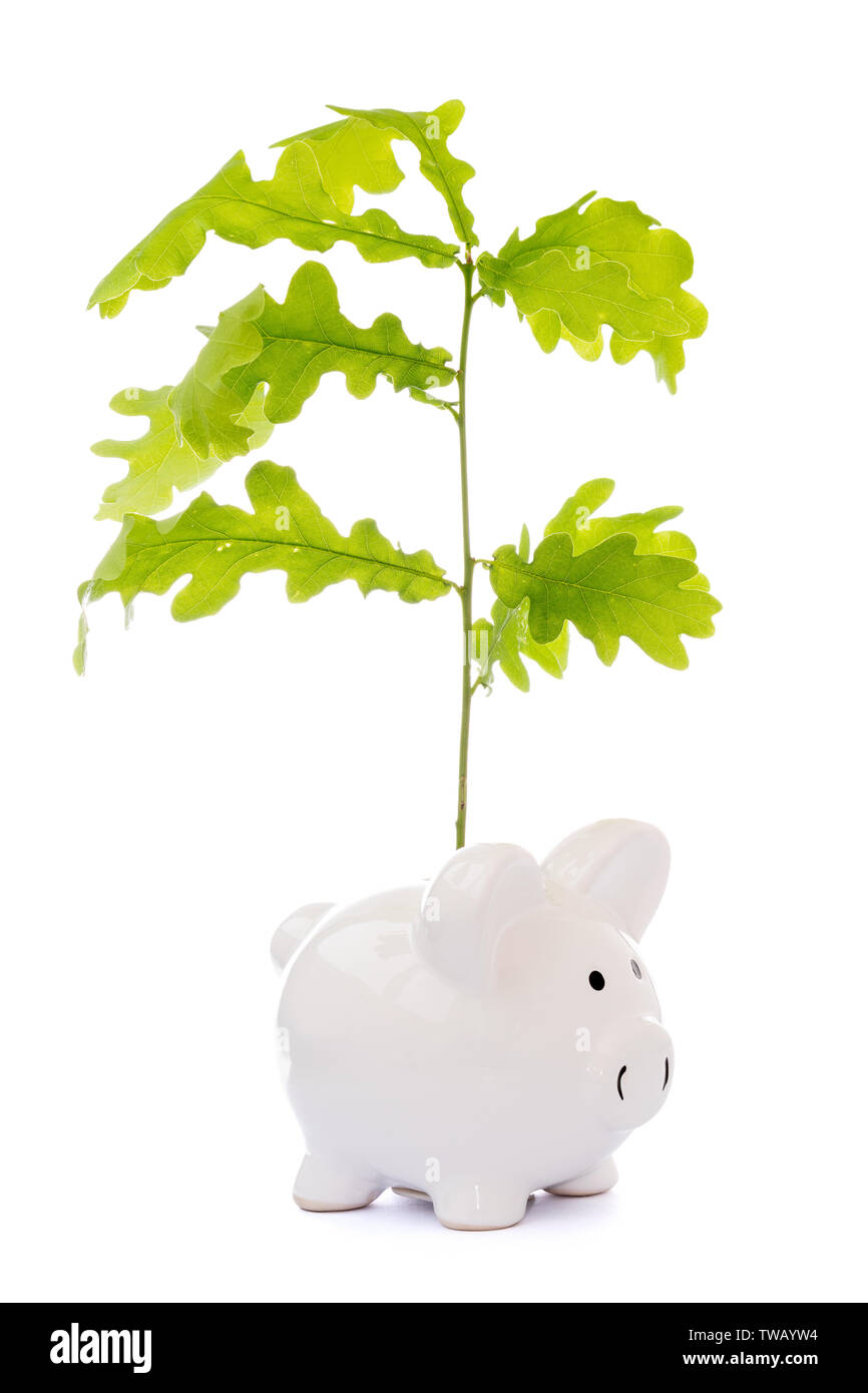 Financial Growth concept. Oak branch growing from piggy-bank, isolated on white background - Stock Image