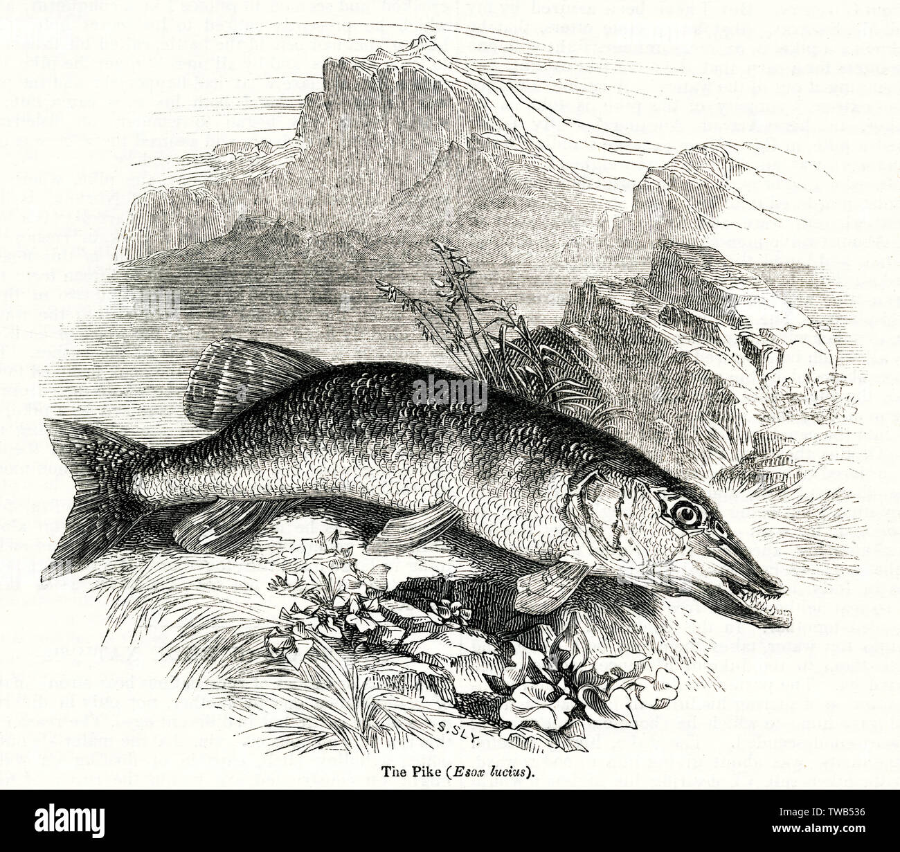Pike, Northern Pike, Esox Lucius.      Date: 1842 Stock Photo