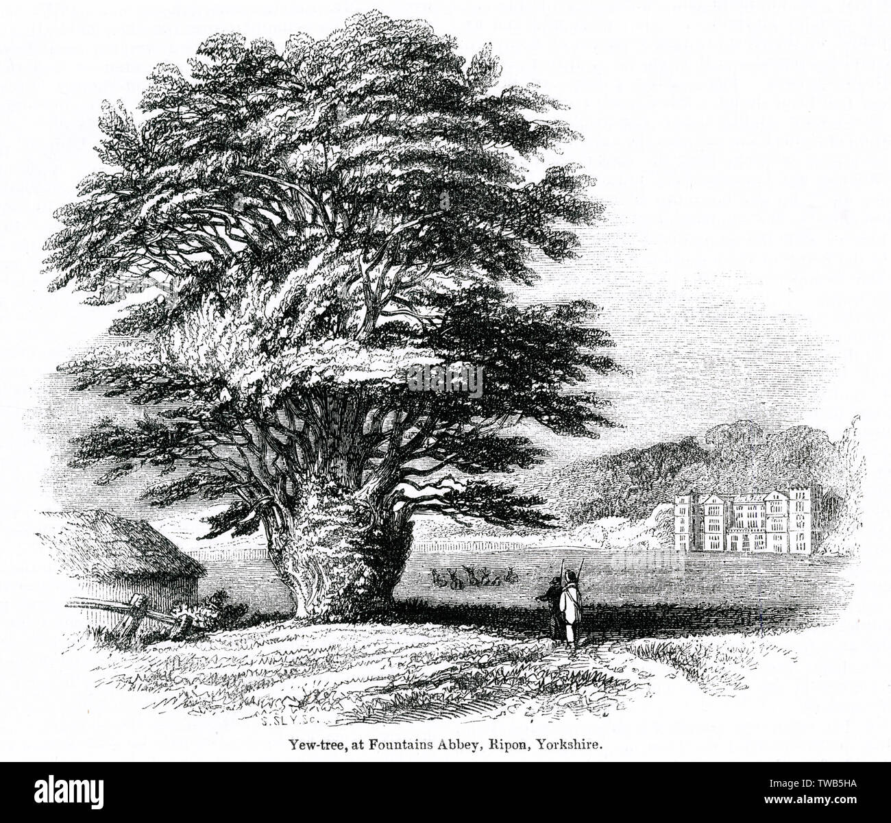 Yew tree at Fountains Abbey, Ripon, Yorkshire.      Date: 1843 - Stock Image