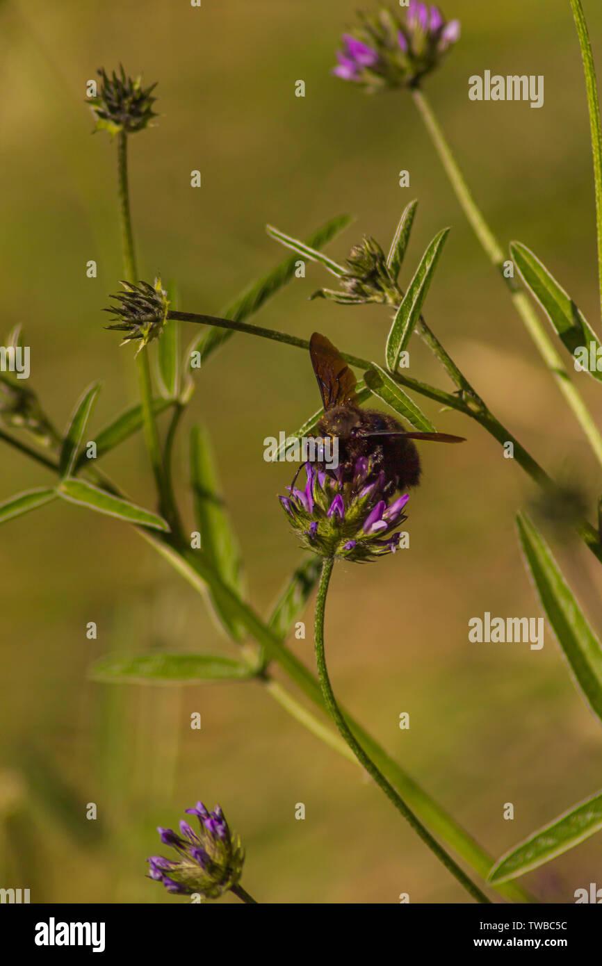 Xylocopa violacea, Violet Carpenter Bee on the Bituminaria bituminosa Flower Stock Photo