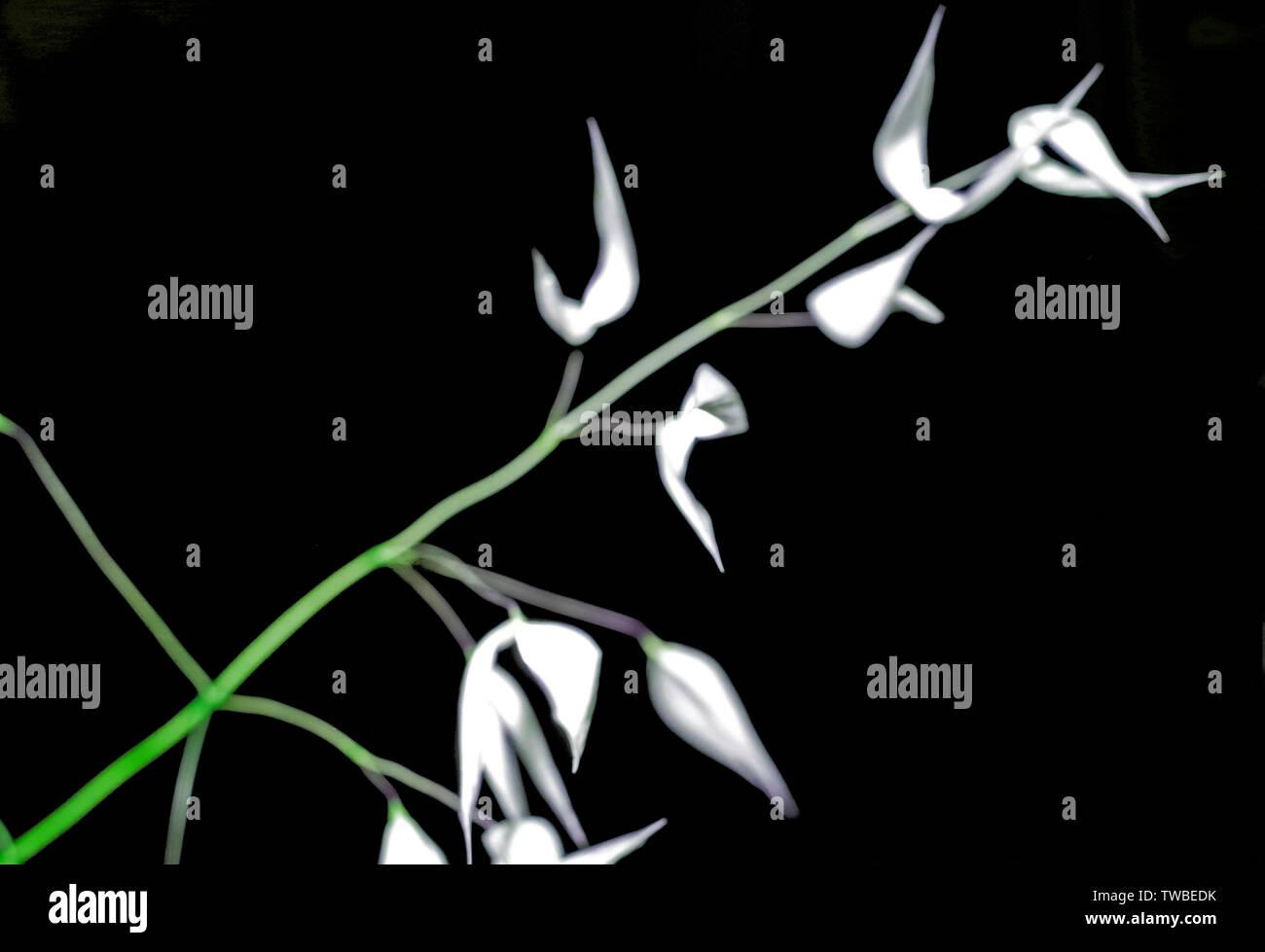 Wild oat (Avena fatua)  dry close-up on black background (digital elaboration) Stock Photo