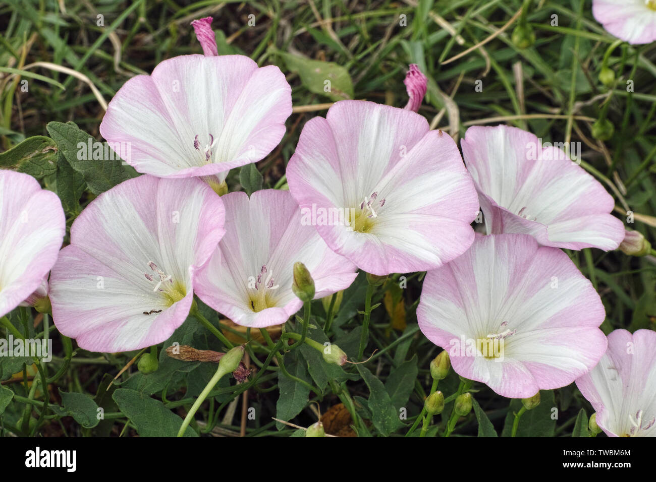 flowers and leaves of field bindweed in pale pink - Stock Image