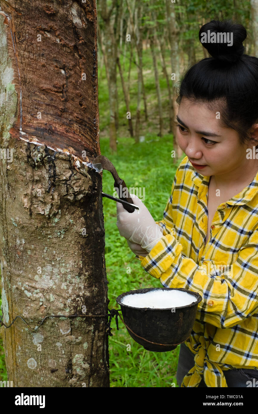 Portrait women tapping latex from a rubber tree form Thailand - Stock Image