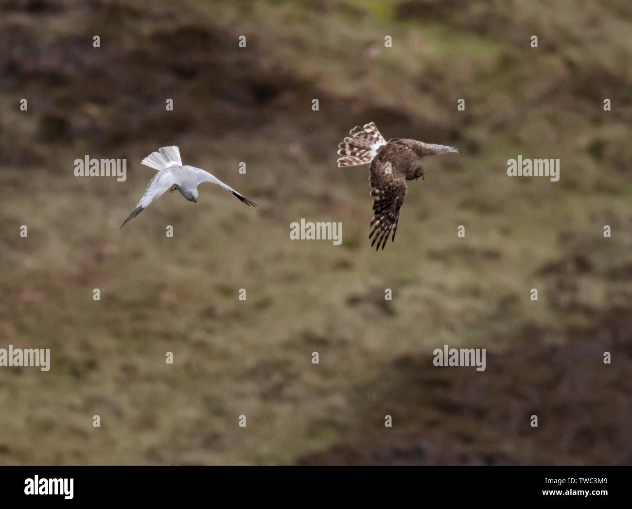 A pair of Hen Harriers (Circus cyaneus) perform a dramatic food pass before female returns to nest with the prey, North Uist, Outer Hebrides, Scotland Stock Photo