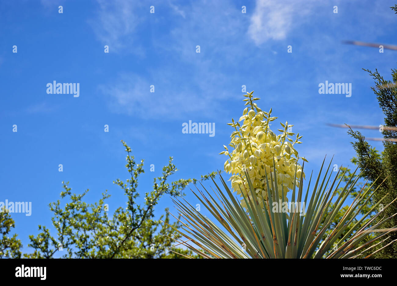 Yucca in the Sky - Stock Image