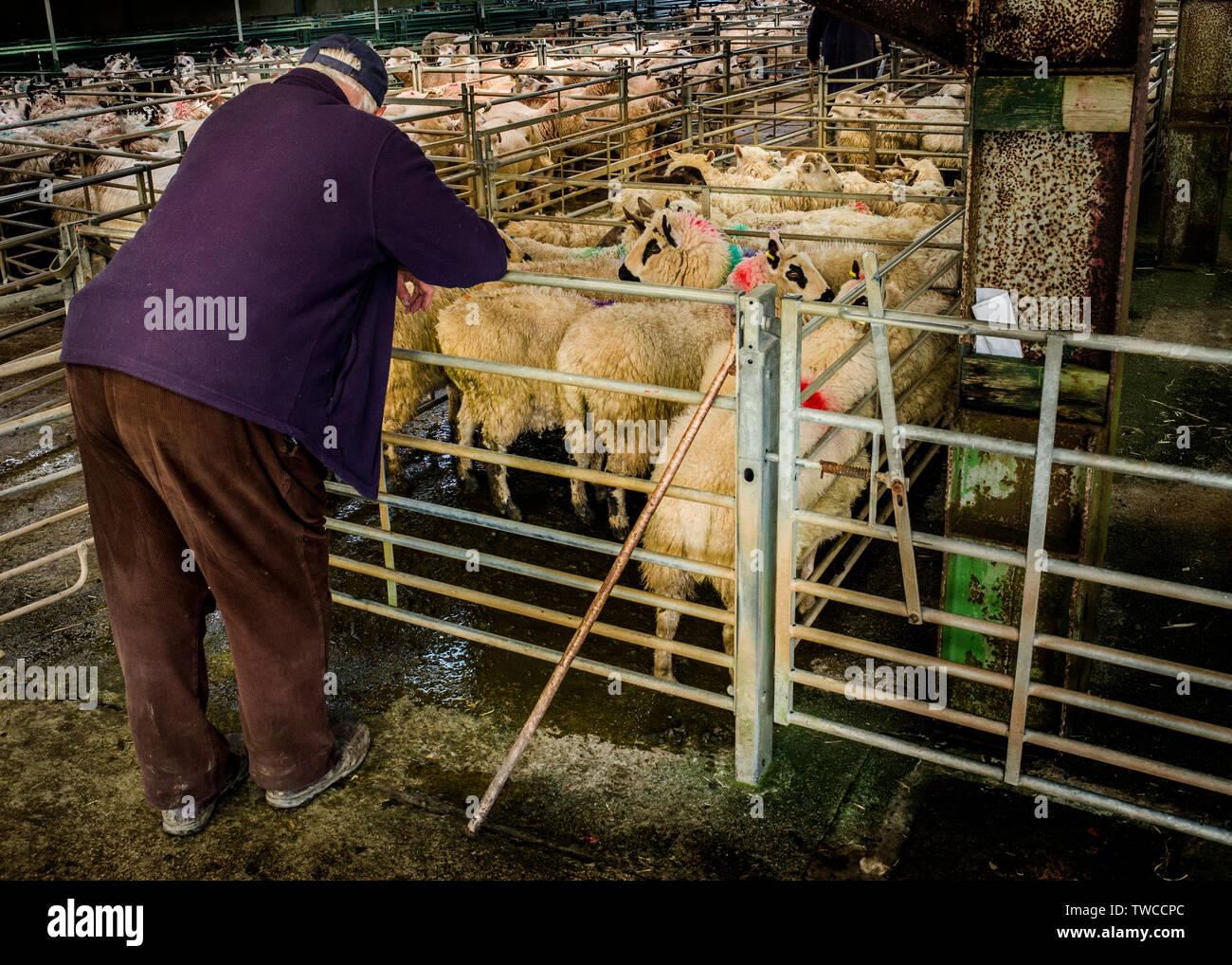 Hallworthy Stockyard, Kivells livestock market Cornwall Stock Photo