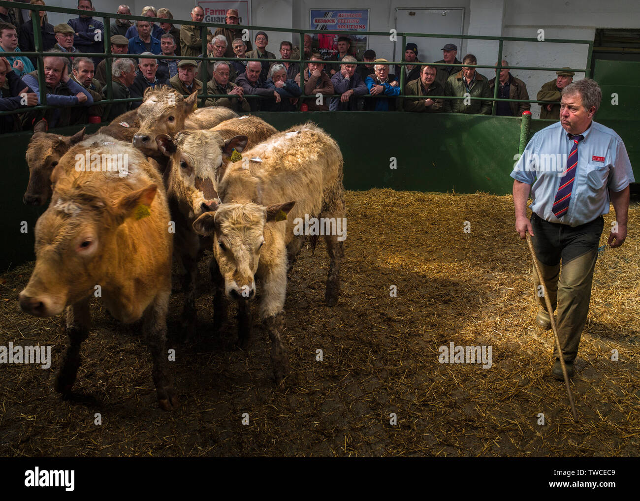 Hallworthy Stockyard, Kivells livestock market Cornwall Stock Photo