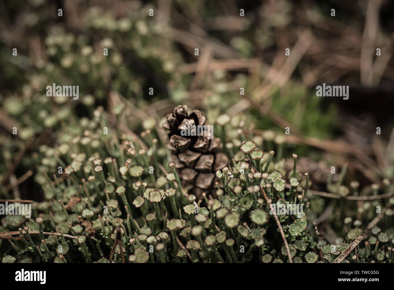 Pine cone in the moss - Stock Image