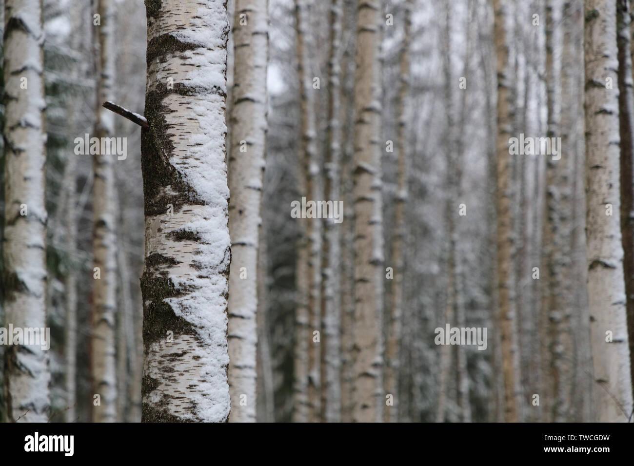birch grove in winter Stock Photo