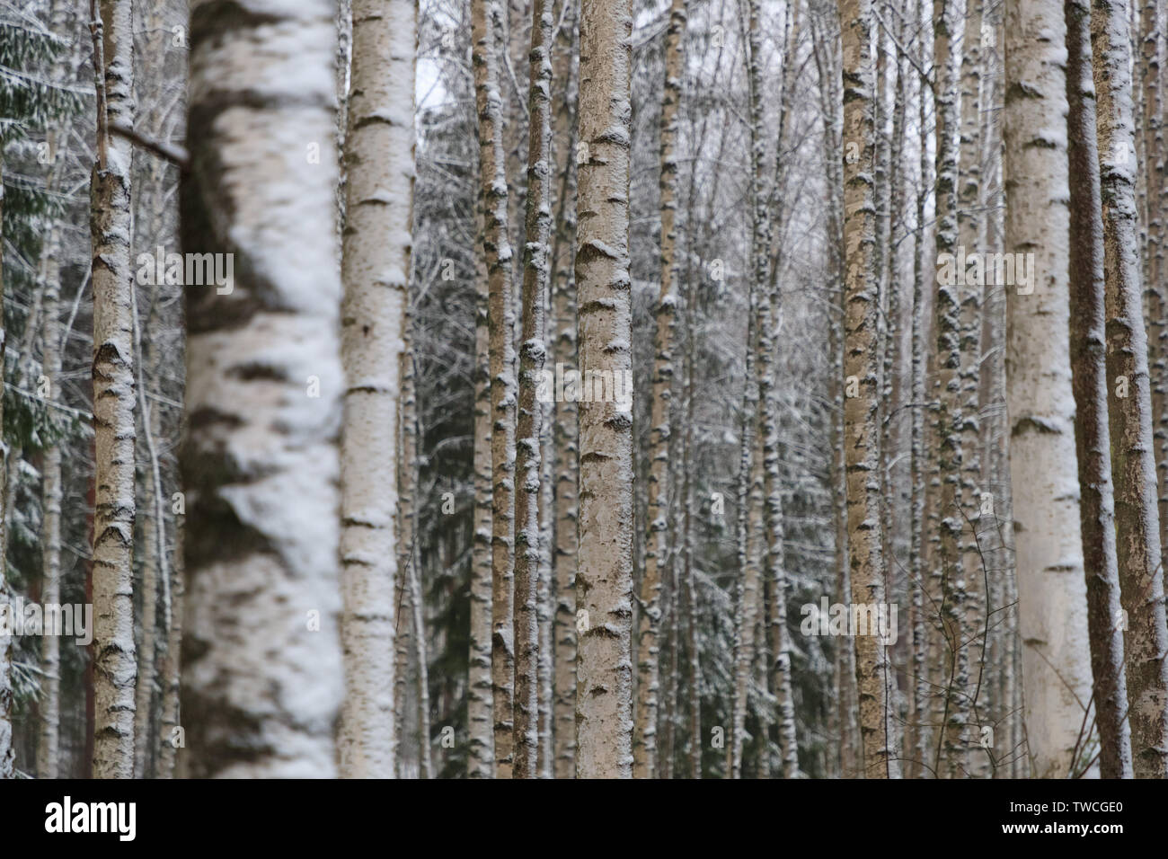 birch grove in winter - Stock Image