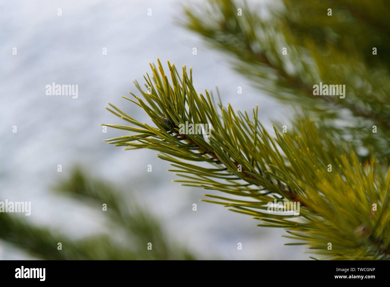 spruce branches close-up in winter forest Stock Photo
