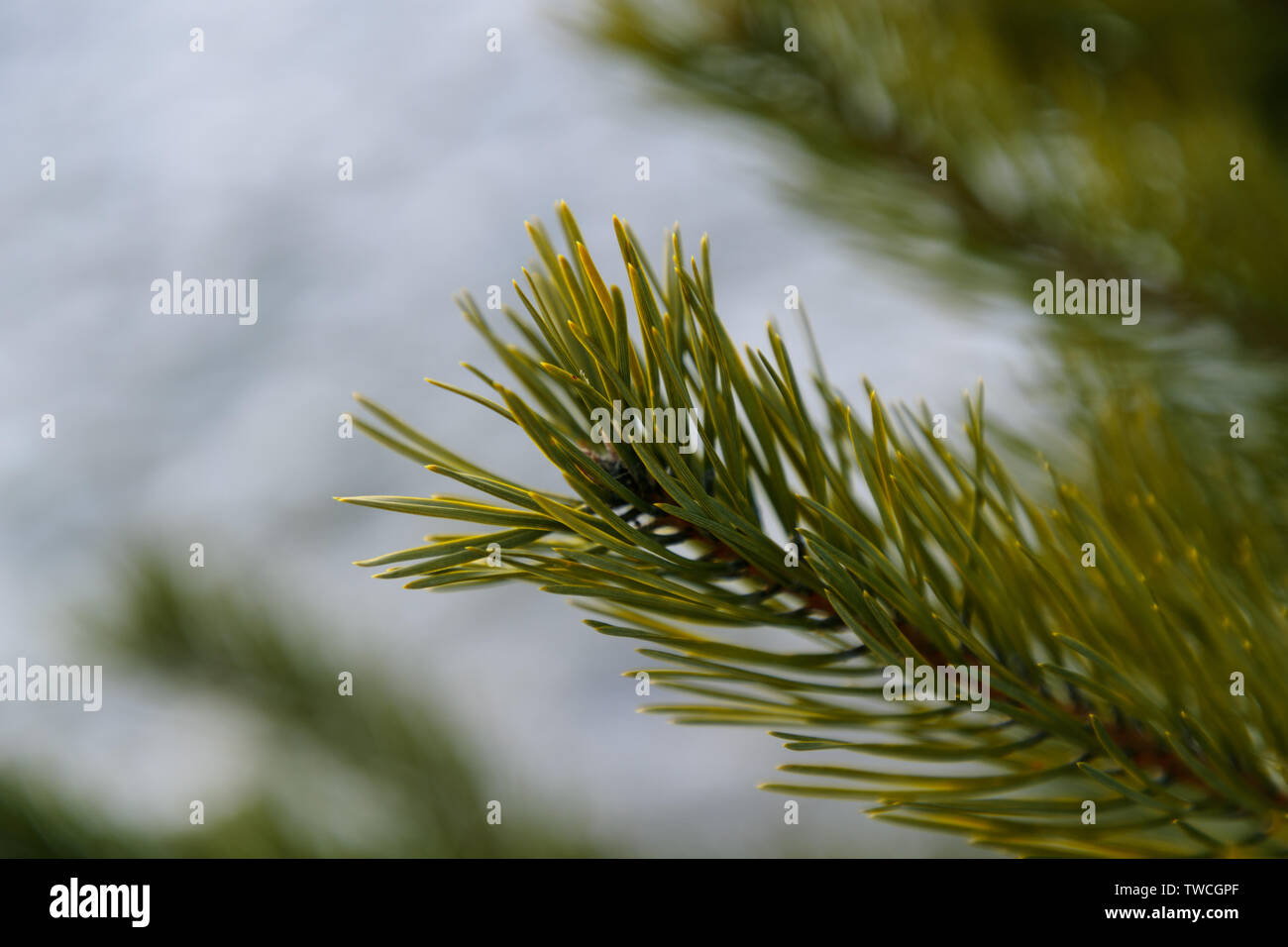 spruce branches close-up in winter forest - Stock Image