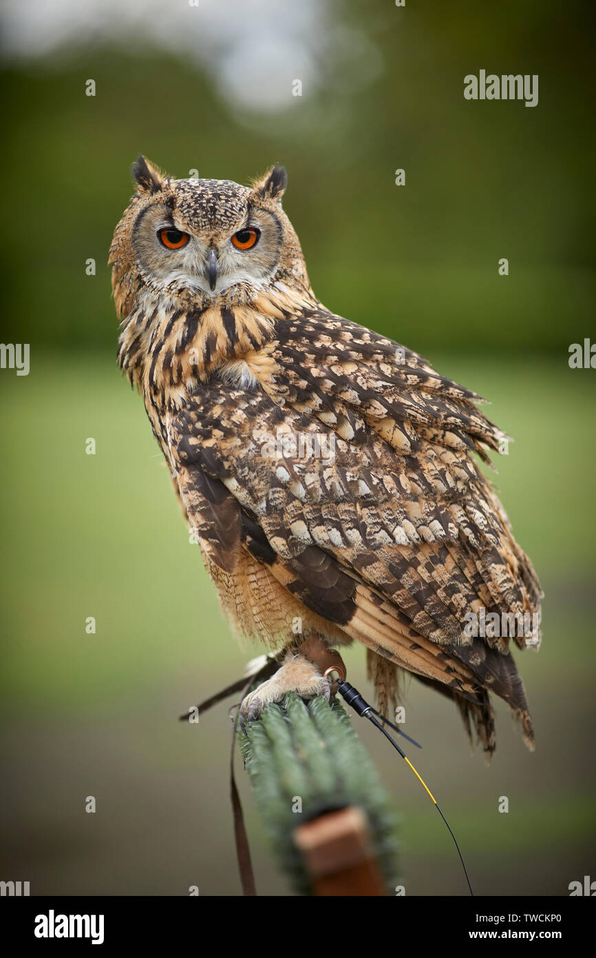 Indian eagle-owl also called the rock eagle-owl or Bengal eagle-owl, is a species of large horned owl restricted to the Indian Subcontinent - Stock Image
