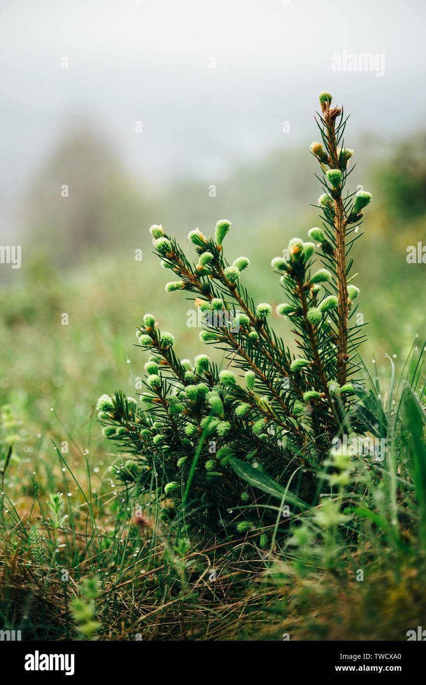 Young small fir tree with water drops in forest. Morning dew on fir tree branches with meadow at background. Raindrops on green fir-tree branch. - Stock Image
