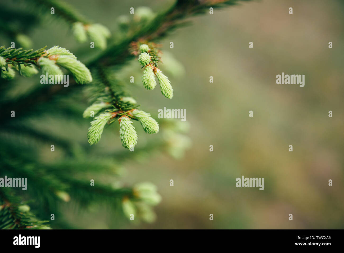 Young fir tree needles with water drops. Horizontal close up of morning dew on fir tree branches with forest in the background. Copy space. - Stock Image